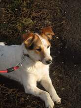 KARLA, Hund, Foxterrier-Mix in Ungarn - Bild 4