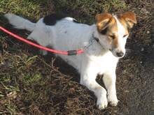 KARLA, Hund, Foxterrier-Mix in Ungarn - Bild 5