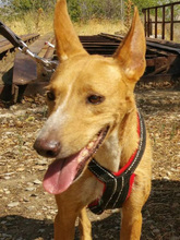 ESME, Hund, Podenco-Mix in Spanien - Bild 3