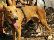 ESME, Hund, Podenco-Mix in Spanien - Bild 4