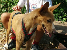 ESME, Hund, Podenco-Mix in Spanien - Bild 5