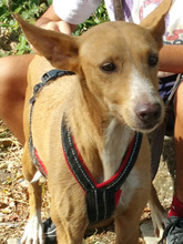 ESME, Hund, Podenco-Mix in Spanien - Bild 6