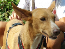 ESME, Hund, Podenco-Mix in Spanien - Bild 7