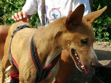 ESME, Hund, Podenco-Mix in Spanien - Bild 8