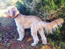 OSKAR, Hund, Golden Retriever-Mix in Spanien - Bild 2