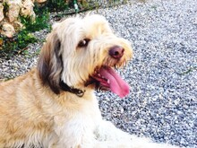 OSKAR, Hund, Golden Retriever-Mix in Spanien - Bild 3