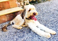 OSKAR, Hund, Golden Retriever-Mix in Spanien - Bild 6