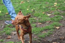 LINA, Hund, Podenco-Mix in Bremen - Bild 2
