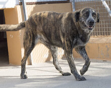 CALIOPE, Hund, Bardino-Mix in Spanien - Bild 2