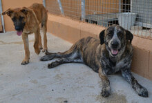 CALIOPE, Hund, Bardino-Mix in Spanien - Bild 3