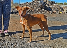 HARRY, Hund, Podenco in Spanien - Bild 5