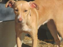 MIRIAM, Hund, Podenco-Mix in Spanien - Bild 1