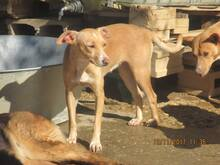 MIRIAM, Hund, Podenco-Mix in Spanien - Bild 10