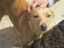 MIRIAM, Hund, Podenco-Mix in Spanien - Bild 12