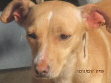 MIRIAM, Hund, Podenco-Mix in Spanien - Bild 3