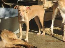 MIRIAM, Hund, Podenco-Mix in Spanien - Bild 6