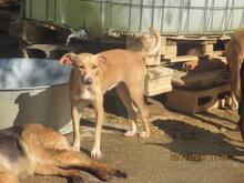 MIRIAM, Hund, Podenco-Mix in Spanien - Bild 7