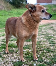 TOMIX, Hund, Corgi-Mix in Portugal - Bild 5