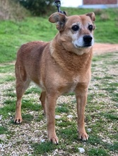 TOMIX, Hund, Corgi-Mix in Portugal - Bild 6