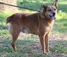 TOMIX, Hund, Corgi-Mix in Portugal - Bild 7