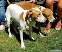 PEDRO, Hund, Podenco-Mix in Herten - Bild 5