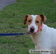 PEDRO, Hund, Podenco-Mix in Herten - Bild 6