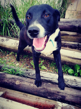 BLACK, Hund, Labrador-Mix in Spanien - Bild 1