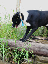 BLACK, Hund, Labrador-Mix in Spanien - Bild 5