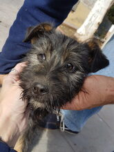 LUCKY, Hund, Schnauzer-Mix in Spanien - Bild 2