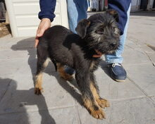 LUCKY, Hund, Schnauzer-Mix in Spanien - Bild 3