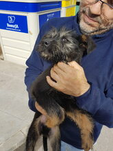 LUCKY, Hund, Schnauzer-Mix in Spanien - Bild 4