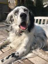 ILARY, Hund, English Setter in Haigerloch - Bild 1