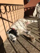 ILARY, Hund, English Setter in Haigerloch - Bild 10