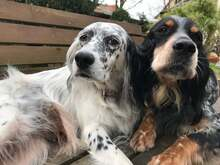 ILARY, Hund, English Setter in Haigerloch - Bild 4