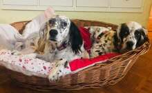 ILARY, Hund, English Setter in Haigerloch - Bild 7