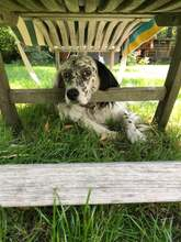 ILARY, Hund, English Setter in Haigerloch - Bild 8