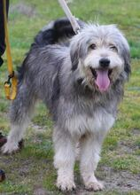 BOGUS, Hund, Bearded Collie in Portugal - Bild 10