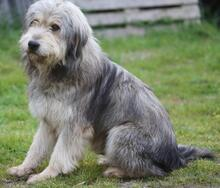 BOGUS, Hund, Bearded Collie in Portugal - Bild 11