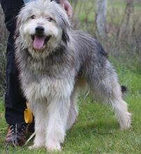 BOGUS, Hund, Bearded Collie in Portugal - Bild 12