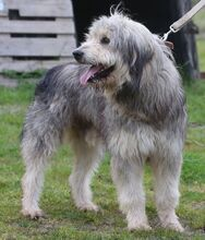 BOGUS, Hund, Bearded Collie in Portugal - Bild 13