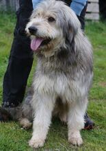 BOGUS, Hund, Bearded Collie in Portugal - Bild 14