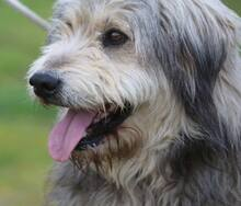 BOGUS, Hund, Bearded Collie in Portugal - Bild 15
