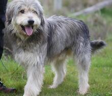BOGUS, Hund, Bearded Collie in Portugal - Bild 16
