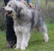 BOGUS, Hund, Bearded Collie in Portugal - Bild 17