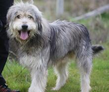 BOGUS, Hund, Bearded Collie in Portugal - Bild 18