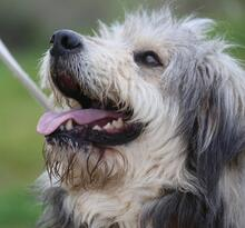 BOGUS, Hund, Bearded Collie in Portugal - Bild 6