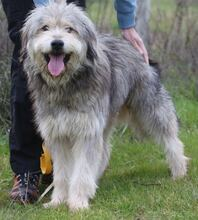 BOGUS, Hund, Bearded Collie in Portugal - Bild 7