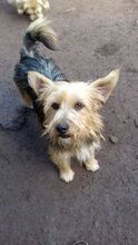 KALLE, Hund, Yorkshire Terrier-Mix in Spanien - Bild 1
