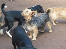 KALLE, Hund, Yorkshire Terrier-Mix in Spanien - Bild 2