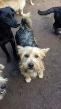 KALLE, Hund, Yorkshire Terrier-Mix in Spanien - Bild 3